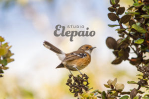 Studio Elepaio logo