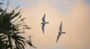 Manu-o-Ku, White Tern