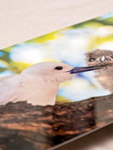White Tern (Manu-o-Ku) metal print