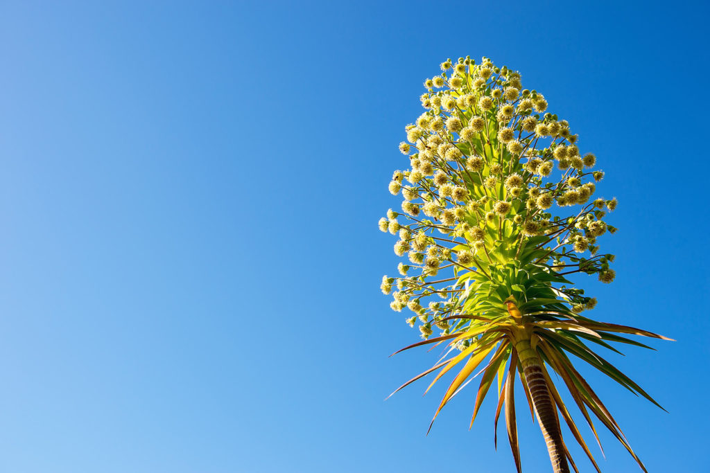 Iliau (Wilkesia gymnoxiphium)